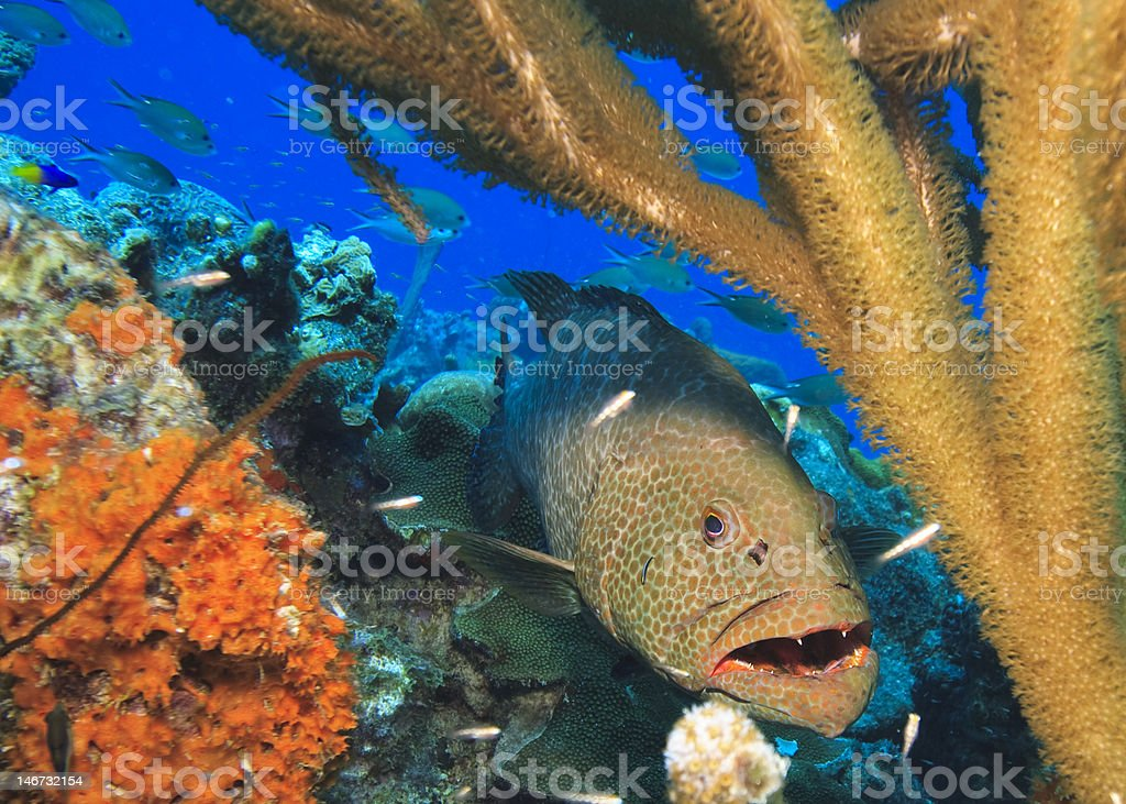 Tiger grouper royalty-free stock photo