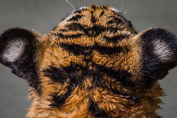 tiger head - tiger fur stock photos and pictures