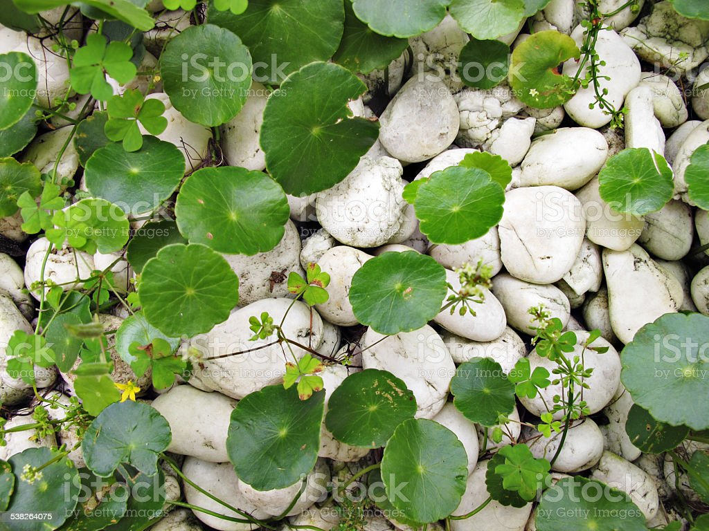 Tiger Herbal and white rocks stock photo