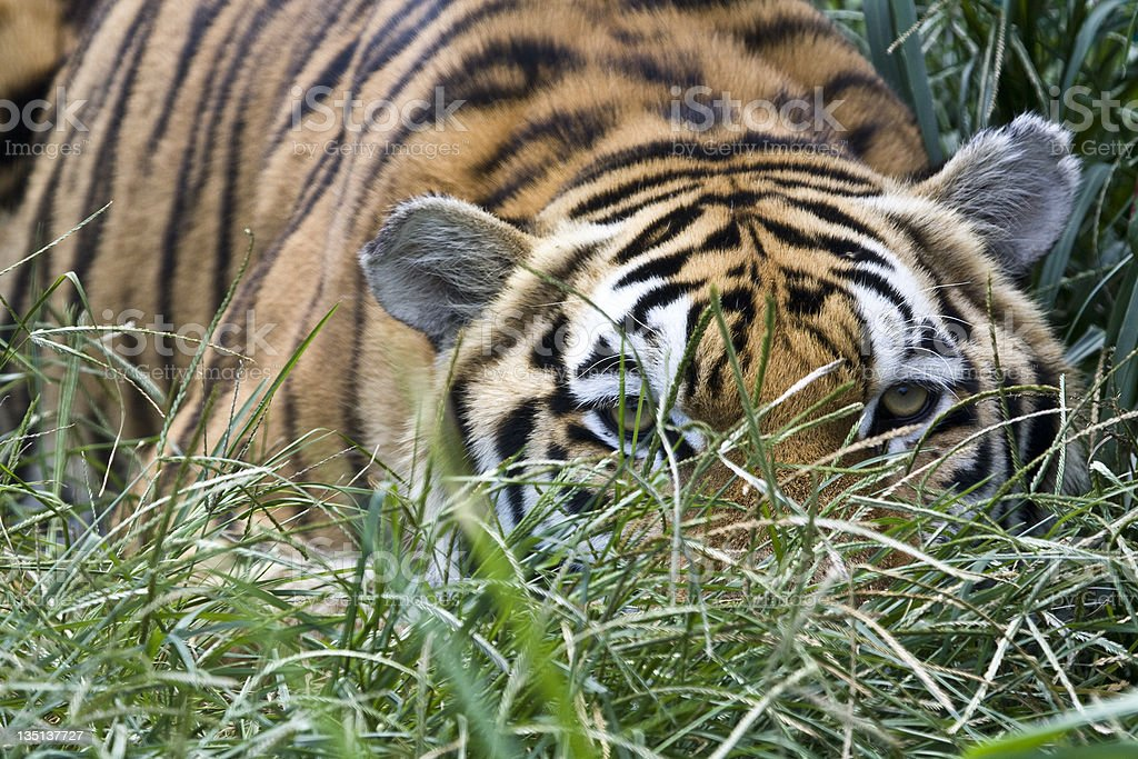Tiger Hiding in the Tall Grass stock photo