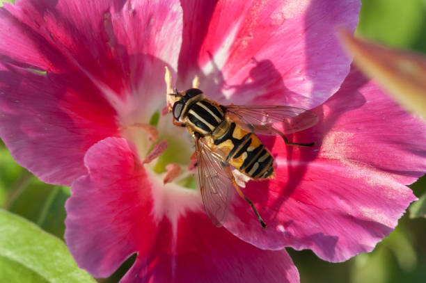 Tiger Hoverfly stock photo