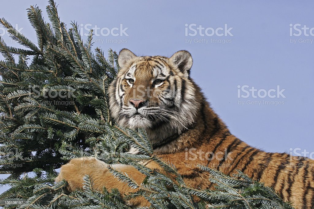 Tiger Hugging Christmas Tree royalty-free stock photo