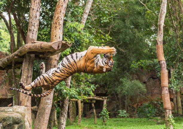 Tiger hungry in action jumping somersault  backward  catch to bait food stock photo