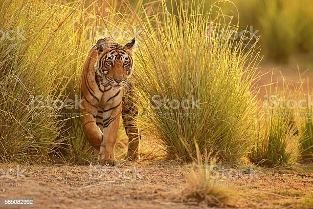 Tiger in a beautiful golden light in india picture id585082992?b=1&k=6&m=585082992&s=612x612&h=ht gc9qqpai1 s9fkqccxypgos4mg1fuur5mlpixcp0=