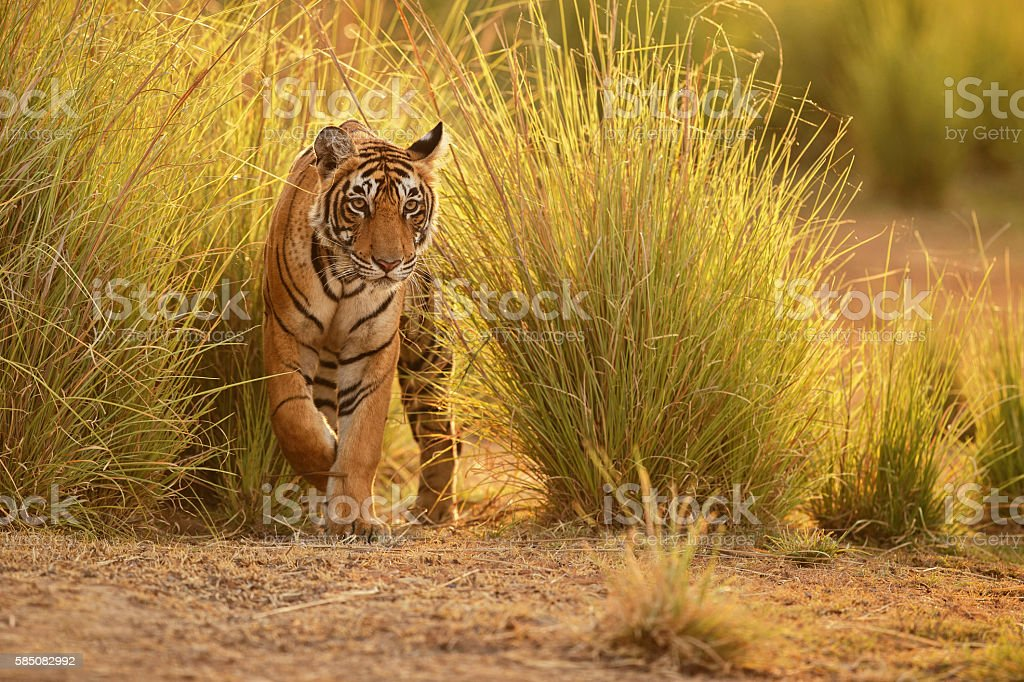Tiger in a beautiful golden light in India stock photo