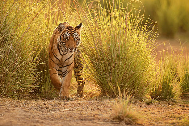 tiger in a beautiful golden light in india - wildplassen stockfoto's en -beelden
