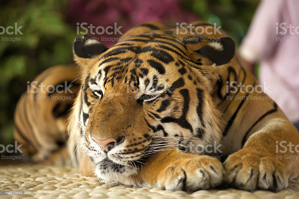 Tiger in a zoo royalty-free stock photo