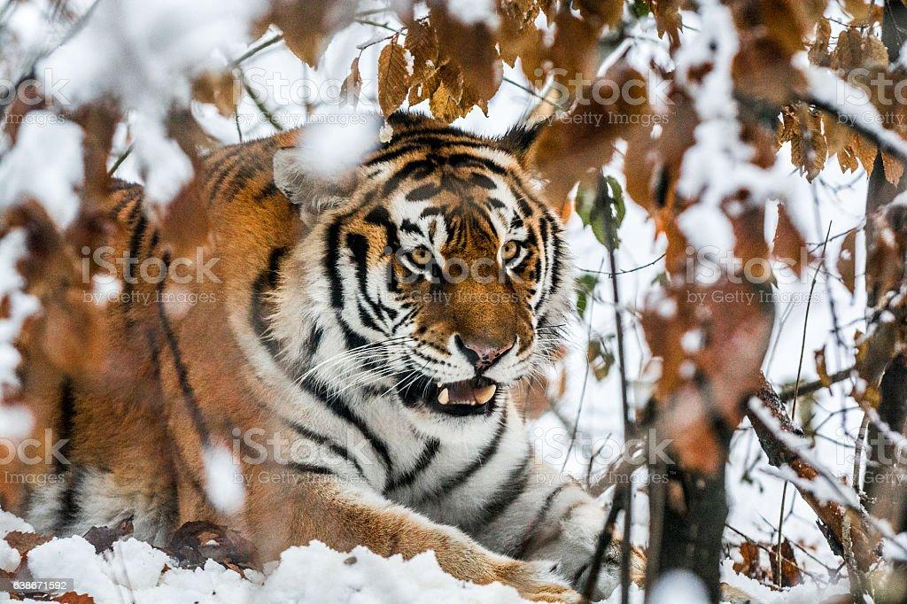 Tiger in ambush stock photo