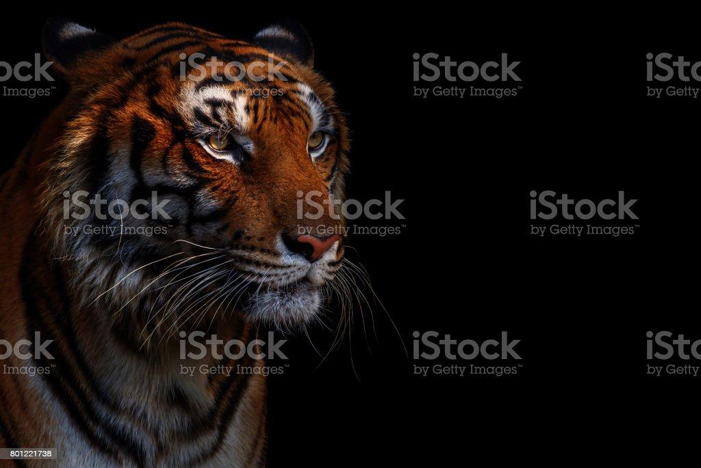 Tiger in black stock photo