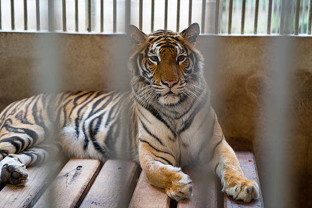 tiger in cage - animals in captivity stock pictures, royalty-free photos & images