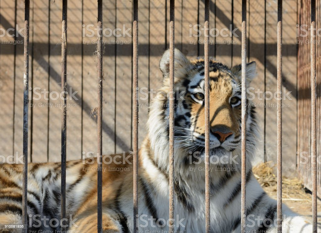 Tiger in cage stock photo