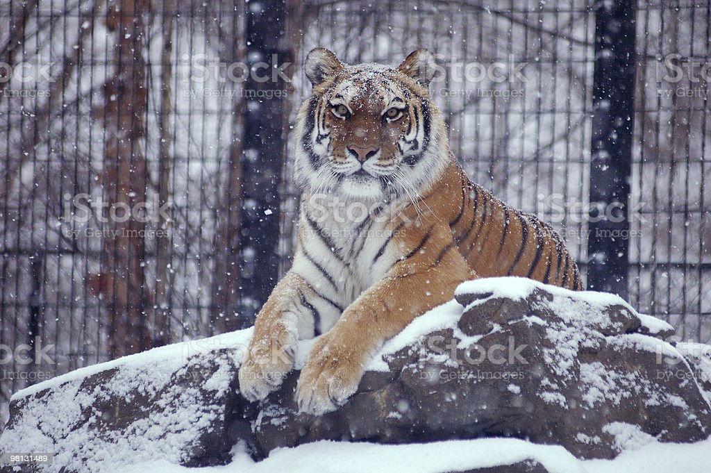 tiger in falling snow royalty-free stock photo