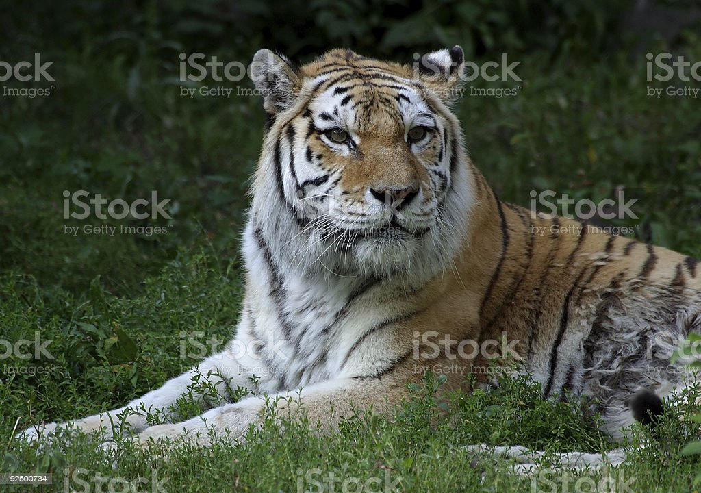 Tiger in Field royalty-free stock photo