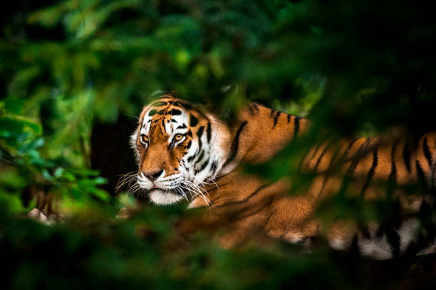 Tiger in forest stock photo