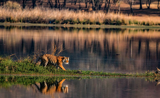 tiger in its habitat - bengal tiger stock pictures, royalty-free photos & images