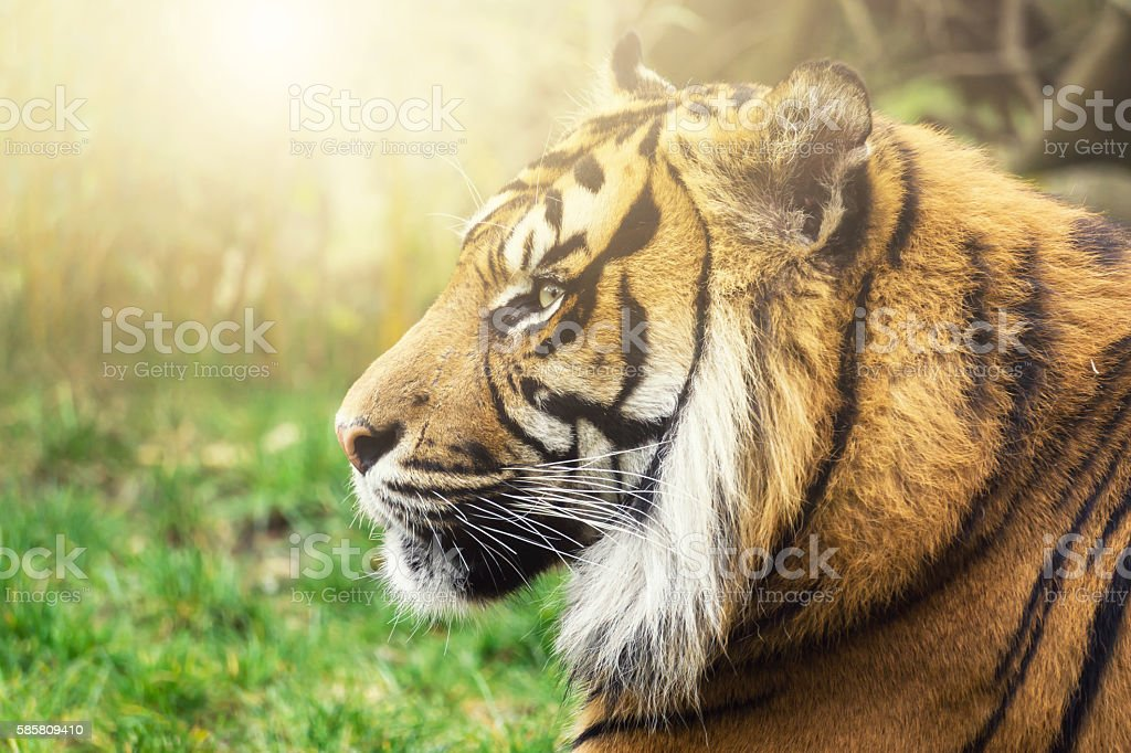 Tiger in side profile with sun and intense eyes – Foto
