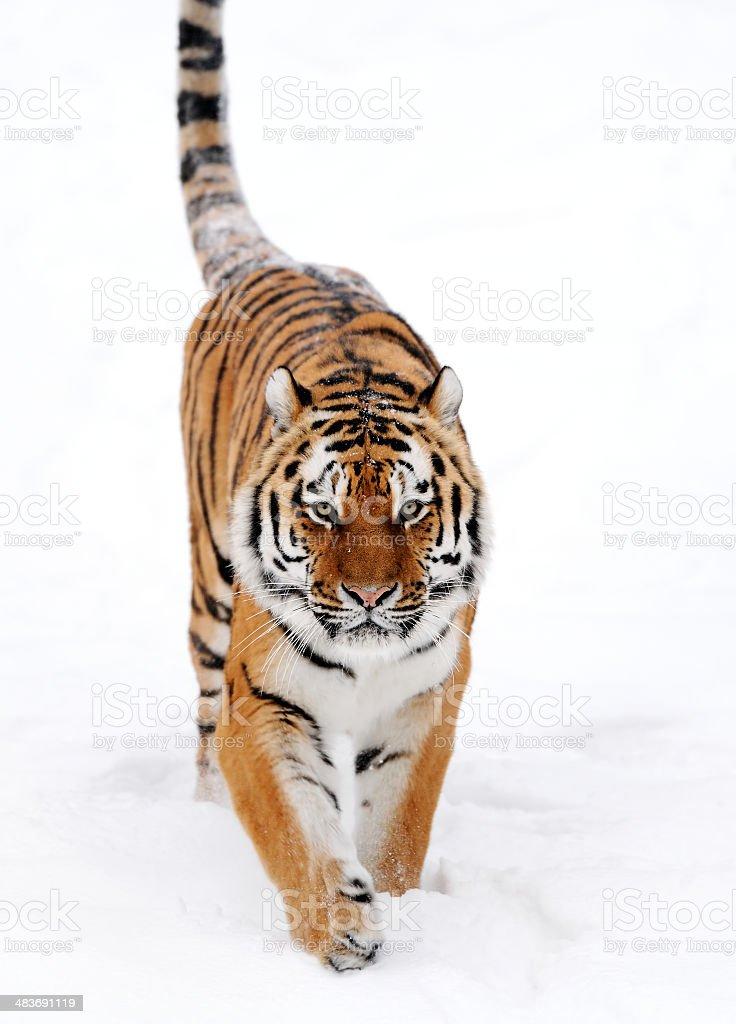 tiger in snow stock photo