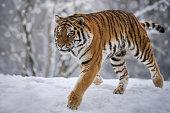Siberian Tiger running in snowy Winter Landscape