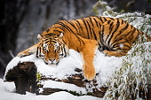 Siberian Tiger relaxing on snowy Tree Trunk