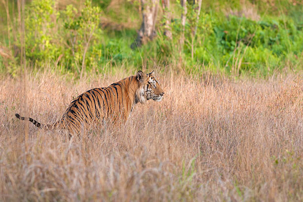 Tiger in the bush stock photo