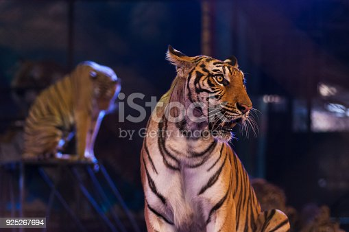 Bengal tiger in the circus arena