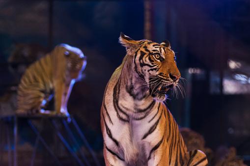 Tiger In The Circus Arena — стоковые фотографии и другие картинки Актёр