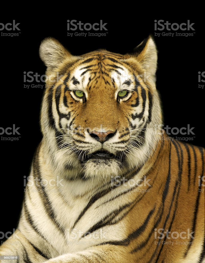Tiger in the Dark royalty-free stock photo