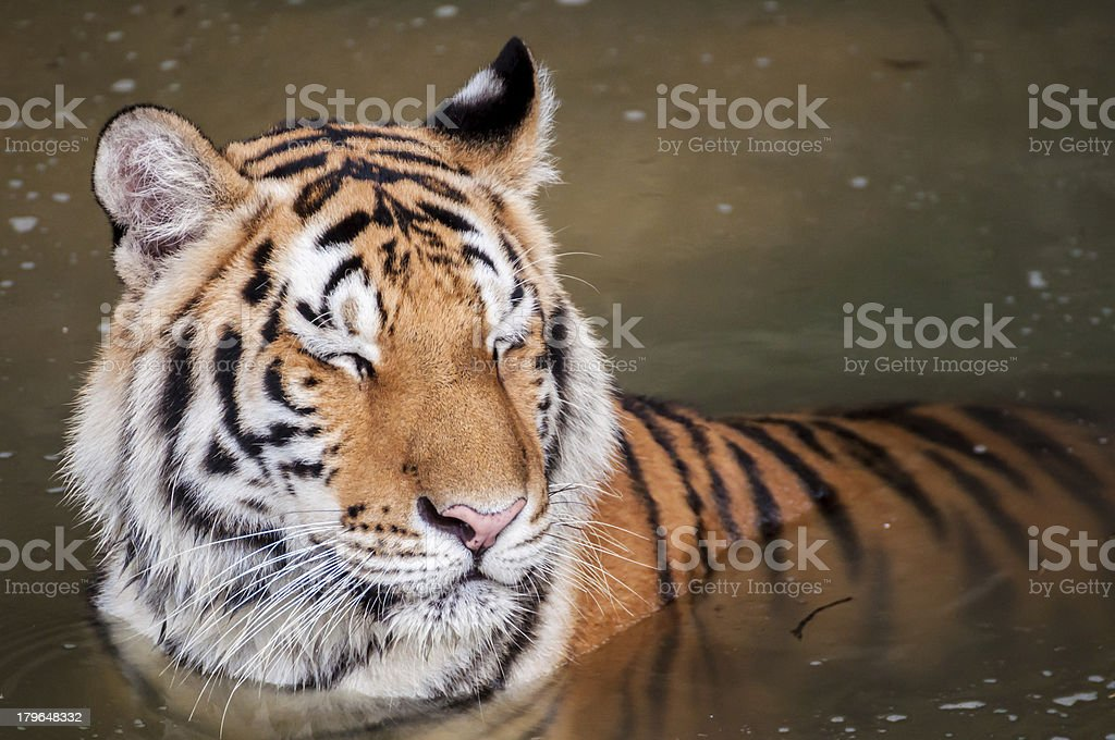 Tiger in the water royalty-free stock photo