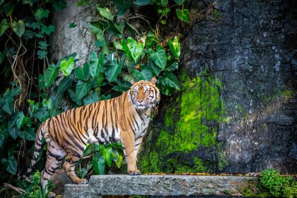 Tiger in the zoo picture id1140503317?b=1&k=6&m=1140503317&s=612x612&w=0&h=uw3zykwq5aya4 kc 0q8cxzg11glxcmvh osqcg2dfo=