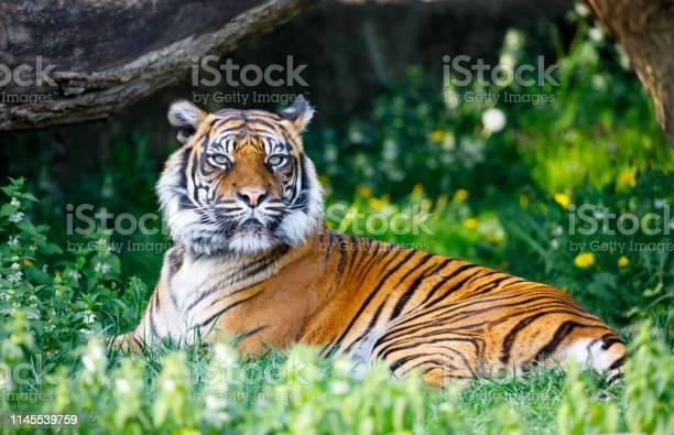 Tiger in warsaw zoo picture id1145539759?b=1&k=6&m=1145539759&s=612x612&h=7ofhdd9mc dhusubsb4nhp jzwo1iwbigbcjbsa1wzu=