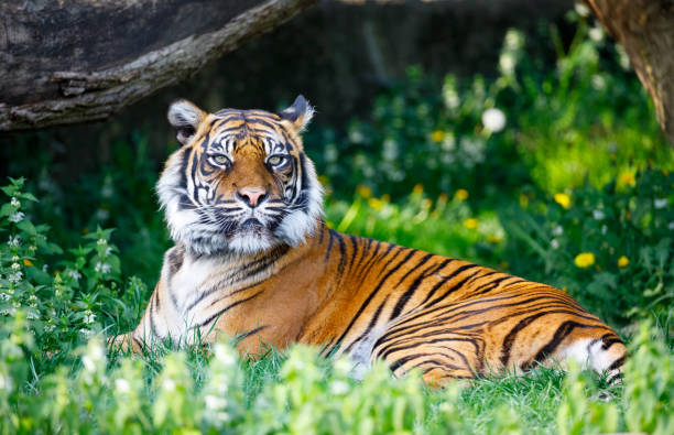 tiger in warsaw zoo - zoo stock pictures, royalty-free photos & images