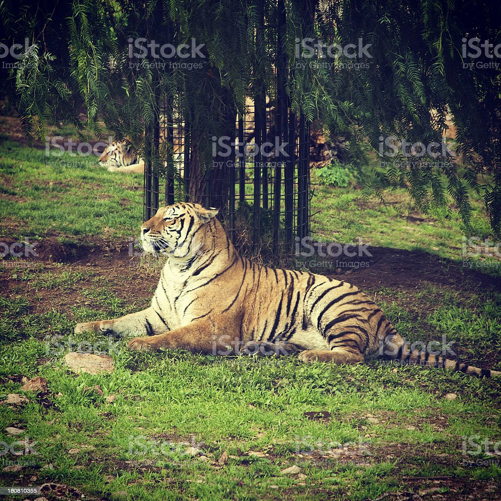 Tiger in Wildlife Reserve royalty-free stock photo