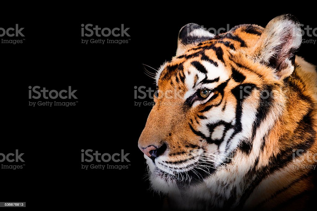 Tiger isolated on black background stock photo