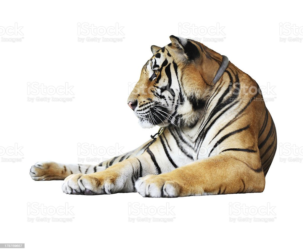 tiger- isolated on white background stock photo