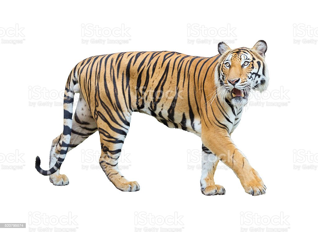 tiger isolated on white background with clipping path. stock photo