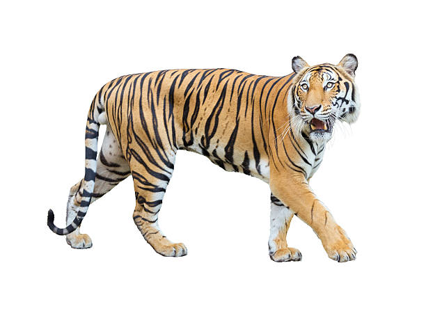 tiger isolated on white background with clipping path. - bengal tiger stock pictures, royalty-free photos & images