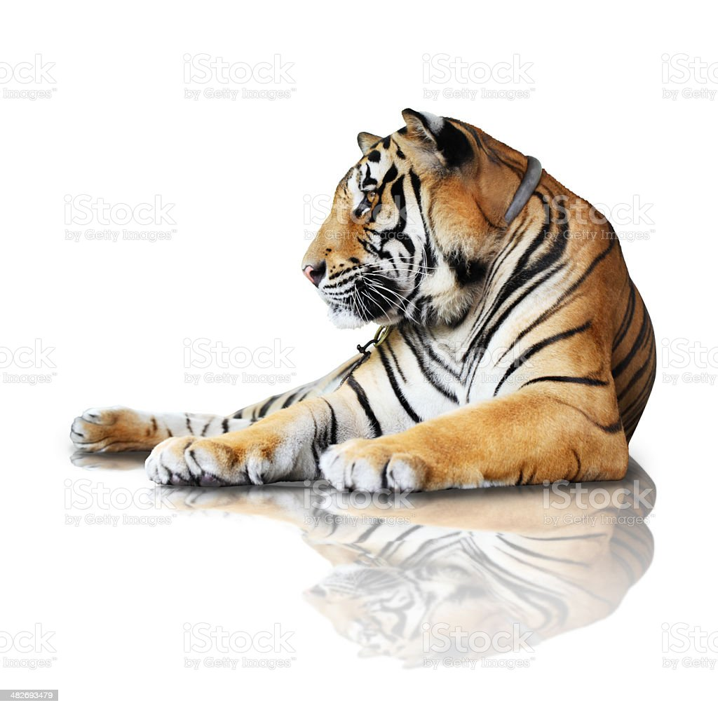 tiger- isolated on white background with reflection, a shadow. stock photo