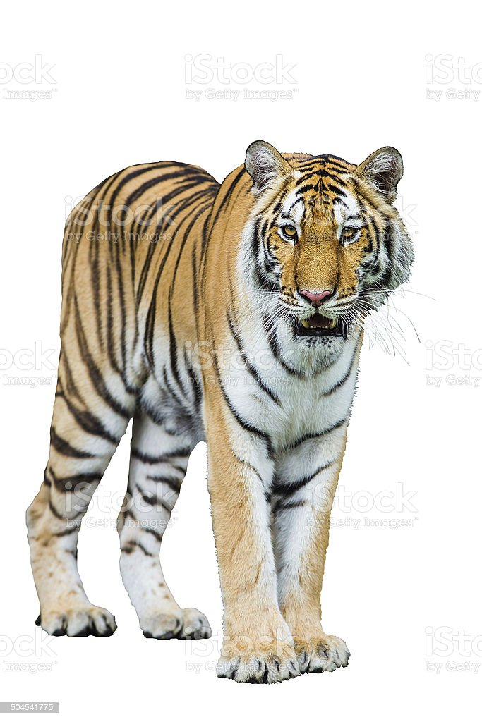 Tiger Isolated on white with clipping path stock photo