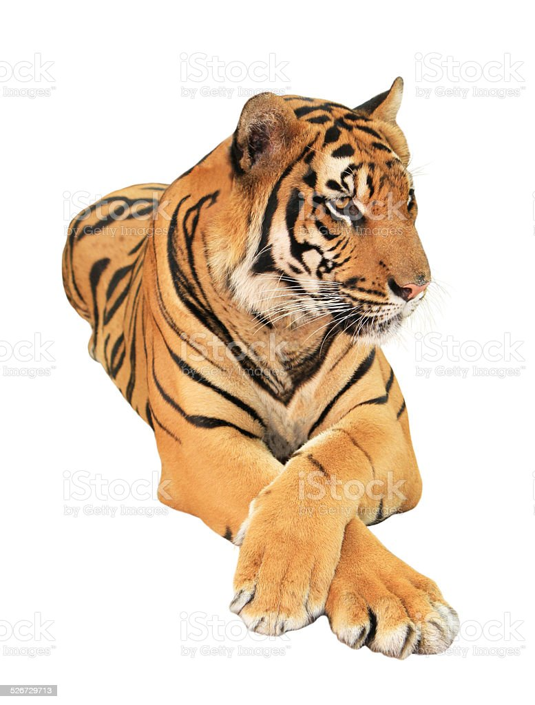 Tiger isolated stock photo