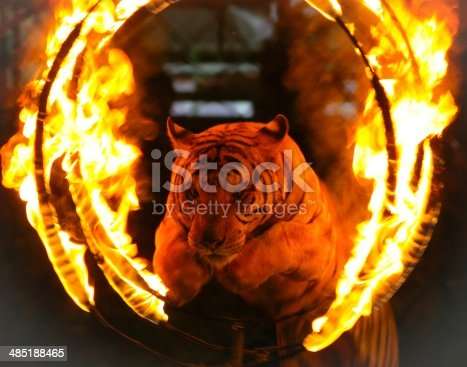 Tiger jumping through a burning ring