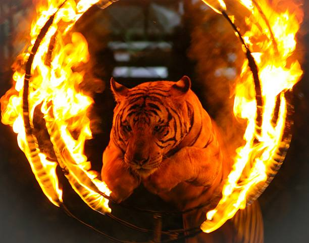 tiger jumping through ring of fire - circus stok fotoğraflar ve resimler