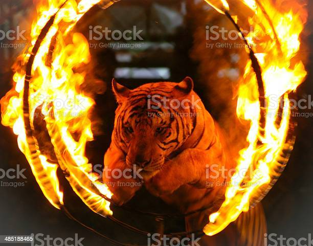 Photo of Tiger jumping through ring of fire