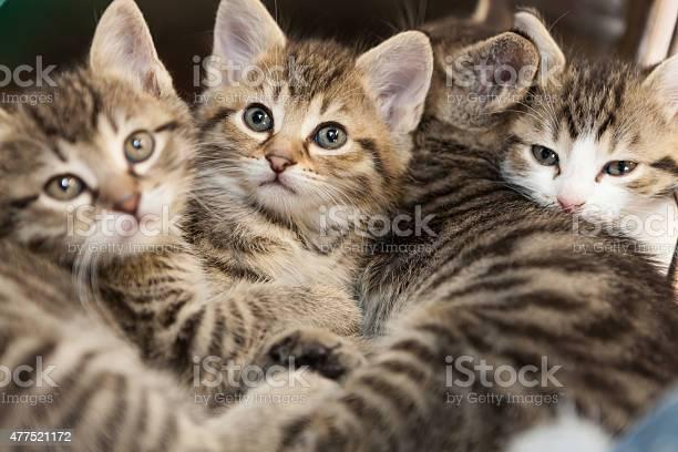 Tiger kitten group picture id477521172?b=1&k=6&m=477521172&s=612x612&h=x403judqfvs 4gqd8ryuic16lkr7uqmrpuot5dlghog=