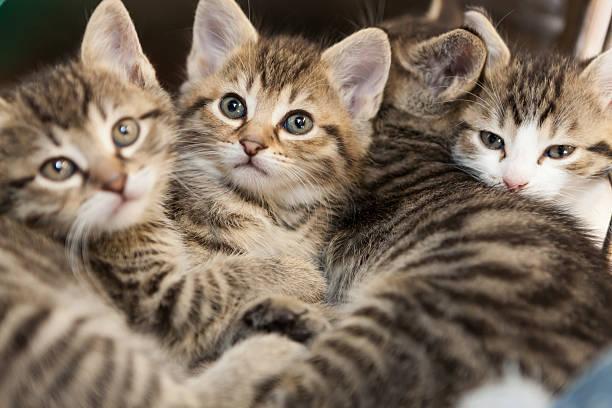 Tiger kitten group picture id477521172?b=1&k=6&m=477521172&s=612x612&w=0&h=hgsn9fbj7sc9qeoxbfnwdt 57qovo1x7p3psd0bvu g=