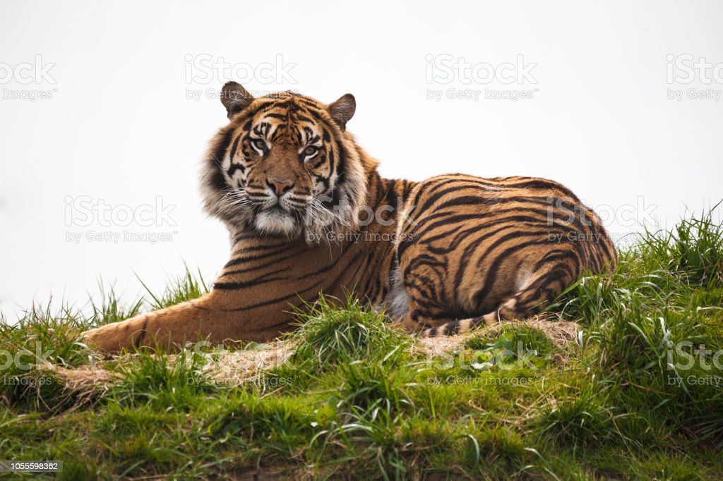 Tiger laying down stock photo