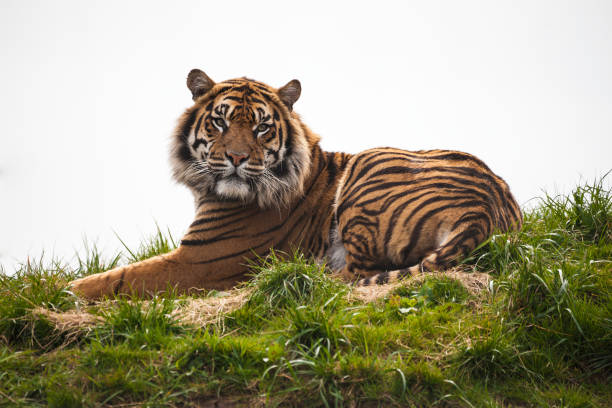 tiger laying down - bengal tiger stock pictures, royalty-free photos & images