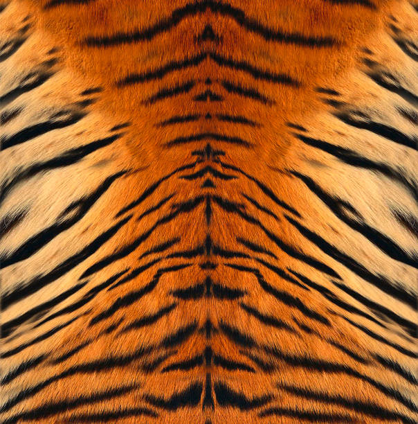 tiger leather - tiger fur stock photos and pictures