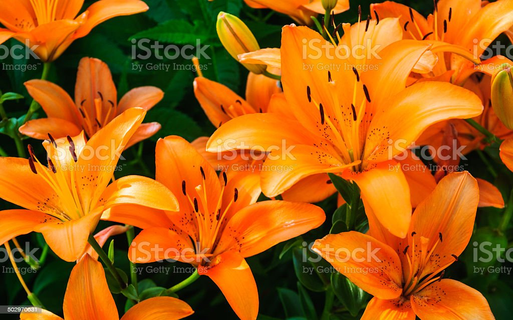 Tiger Lilies royalty-free stock photo