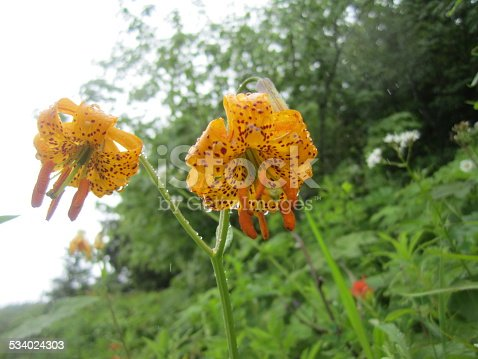 Beautiful Tiger Lily flowers with water droplets.