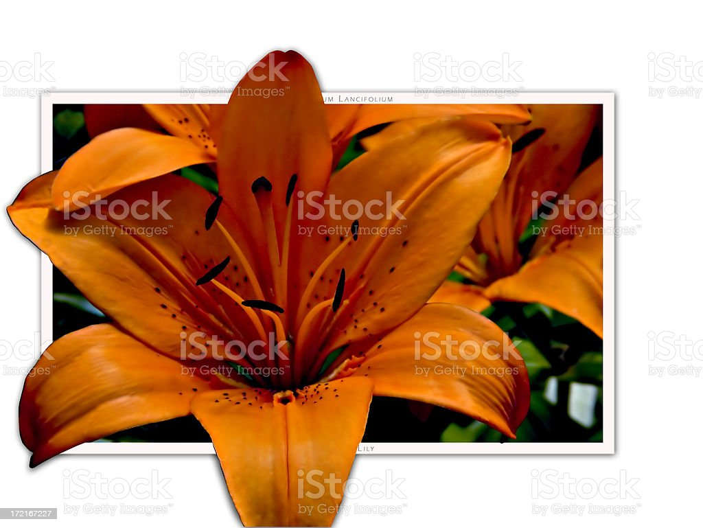 47b548d854ee3 Tiger Lilly Pop Out Stock Photo & More Pictures of Color Image - iStock